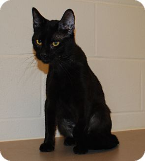 Domestic Shorthair Cat for adoption in Council Bluffs, Iowa - Shadow