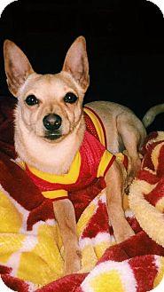 Basenji/Chihuahua Mix Dog for adoption in Santa Ana, California - Cheeba