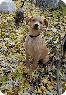 Golden Retriever Mix Puppy for adoption in Burlington, Vermont - Cheech