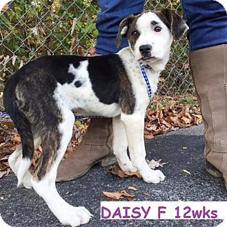 American Bulldog/Corgi Mix Puppy for adoption in Danbury, Connecticut - Daisy
