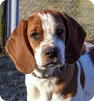 Spaniel (Unknown Type)/Beagle Mix Puppy for adoption in Fairfax, Virginia - Ben