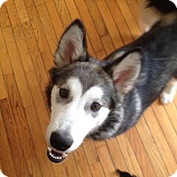 Adopt A Pet :: Nova energetic youngster - Augusta County, VA
