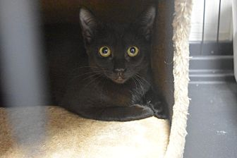 Domestic Shorthair Kitten for adoption in Miami Shores, Florida - Inky