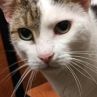 Domestic Shorthair Cat for adoption in New Bern, North Carolina - Nathaniel