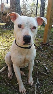 American Staffordshire Terrier Mix Dog for adoption in Greensboro, North Carolina - Cassie