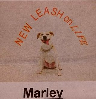 Labrador Retriever/Pit Bull Terrier Mix Dog for adoption in Albemarle, North Carolina - Marley