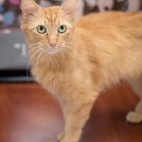 Domestic Mediumhair/Domestic Shorthair Mix Cat for adoption in Madison, Georgia - Coriander