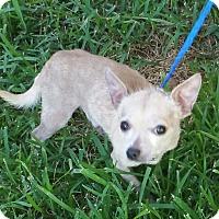 Adopt A Pet :: COWBOY - Houston, TX