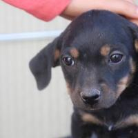 Terrier (Unknown Type, Small)/Dachshund Mix Dog for adoption in Tucson, Arizona - Daisy
