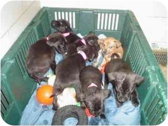Shepherd (Unknown Type)/Labrador Retriever Mix Puppy for adoption in Walker, Michigan - Hershey