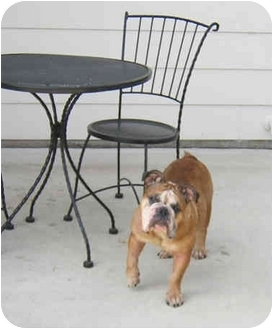 English Bulldog Dog for adoption in Pearland, Texas - Marley