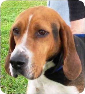 Coonhound Dog for adoption in Sugar Land, Texas - Lilly