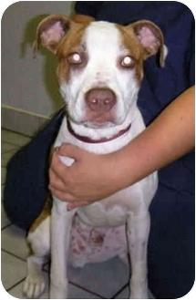 Boxer/Boston Terrier Mix Dog for adoption in Proctorville, Ohio, Ohio - Mac