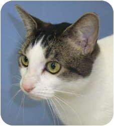 Domestic Shorthair Cat for adoption in Chicago, Illinois - Baryshnikov