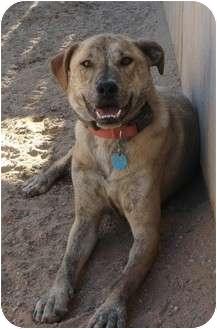 Boxer/Labrador Retriever Mix Dog for adoption in Golden Valley, Arizona - Pete