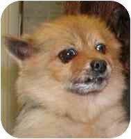 Pomeranian Dog for adoption in Warren, New Jersey - Prada