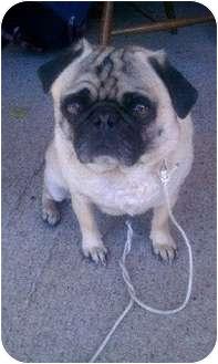 Pug Dog for adoption in Eagle, Idaho - Moses