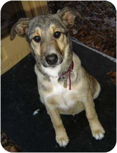 Shepherd (Unknown Type)/Terrier (Unknown Type, Small) Mix Puppy for adoption in Franklin, West Virginia - Bindi