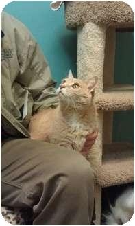 Domestic Shorthair Cat for adoption in Coronado, California - Champ