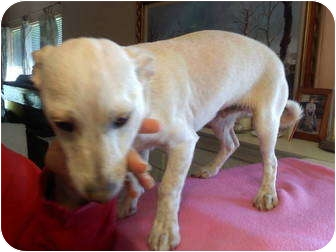 Corgi Mix Puppy for adoption in Temecula, California - Casey