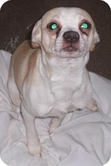 Rat Terrier Mix Dog for adoption in Mt. Vernon, Illinois - Mike