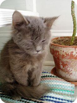 Domestic Longhair Kitten for adoption in Beaufort, South Carolina - Wilhelmina