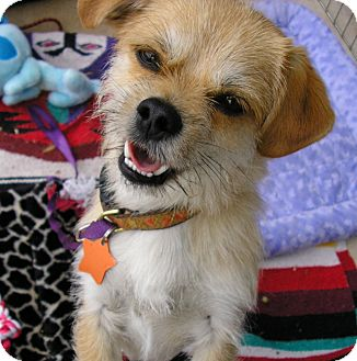 Cairn Terrier/Pug Mix Dog for adoption in Austin, Texas - Bunko