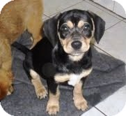 Shepherd (Unknown Type)/Rottweiler Mix Puppy for adoption in Bartonsville, Pennsylvania - SHEBA