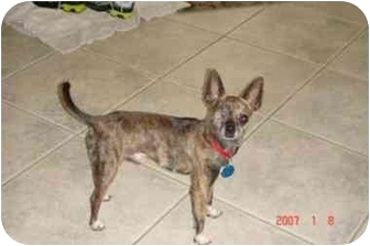 Chihuahua Dog for adoption in Baton Rouge, Louisiana - Scooby