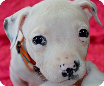 Boston Terrier/Pit Bull Terrier Mix Puppy for adoption in Austin, Texas - Rogue