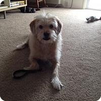 Adopt A Pet :: Julie Scruffy Terrier - Marlton, NJ