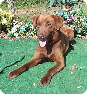 Labrador Retriever Dog for adoption in Marietta, Georgia - BIG BEN (R)