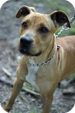 Labrador Retriever Mix Dog for adoption in Tinton Falls, New Jersey - Cinnimo