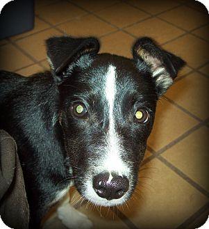 Sheltie, Shetland Sheepdog/Fox Terrier (Smooth) Mix Puppy for adoption in White Cloud, Michigan - Darcy