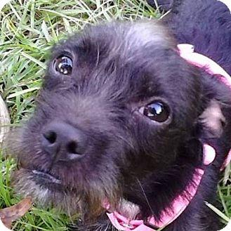 Terrier (Unknown Type, Small)/Schnauzer (Miniature) Mix Dog for adoption in Brooksville, Florida - Sassy