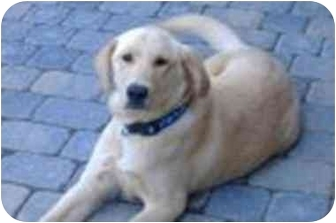 Labrador Retriever/Golden Retriever Mix Puppy for adoption in Evergreen, Colorado - Huck