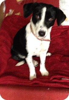 Beagle Mix Dog for adoption in Sterling Heights, Michigan - Nina