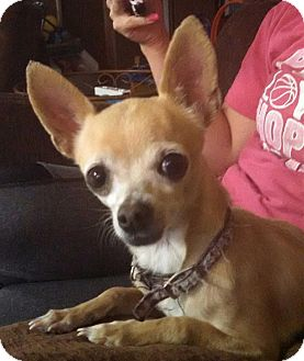 Chihuahua Dog for adoption in Manhattan, Kansas - Zoey