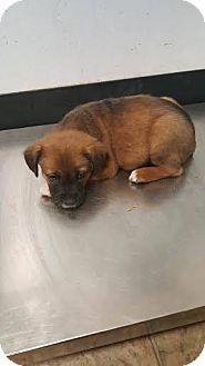 Labrador Retriever/German Shepherd Dog Mix Puppy for adoption in Darlington, South Carolina - Casey