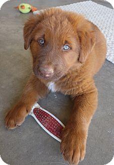 German Shepherd Dog Mix Puppy for adoption in Quail Valley, California - Rowan
