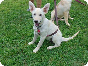 German Shepherd Dog Mix Dog for adoption in Portland, Maine - Bronwynn