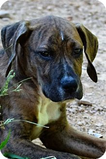 Hound (Unknown Type) Mix Puppy for adoption in Albemarle, North Carolina - Morgan