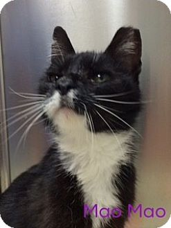 Domestic Shorthair Cat for adoption in Great Neck, New York - Mao Mao