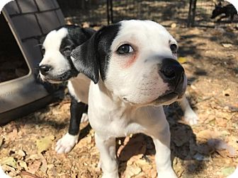 Pit Bull Terrier Mix Puppy for adoption in Lodi, California - Jenna