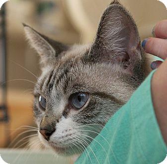 Siamese Cat for adoption in LaGrange, Kentucky - Juliette