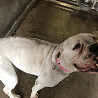 Boxer Dog for adoption in Austin, Texas - Floralina