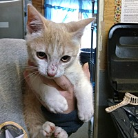 Domestic Shorthair Kitten for adoption in Jacksonville, Texas - Moses