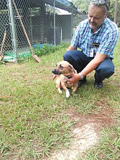 Basset Hound/Bulldog Mix Dog for adoption in Marianna, Florida - Gus