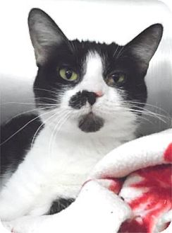 Domestic Shorthair Cat for adoption in Waupaca, Wisconsin - Luci