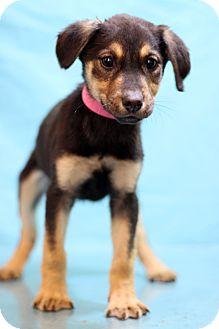 Labrador Retriever Mix Puppy for adoption in Waldorf, Maryland - Brock